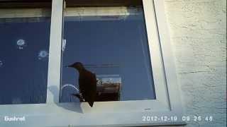 Window Bird Feeder - Flicker