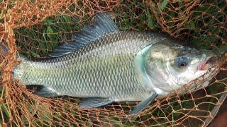 Rhythmic Catla Fishing Videos By Skilled Fish Hunter's