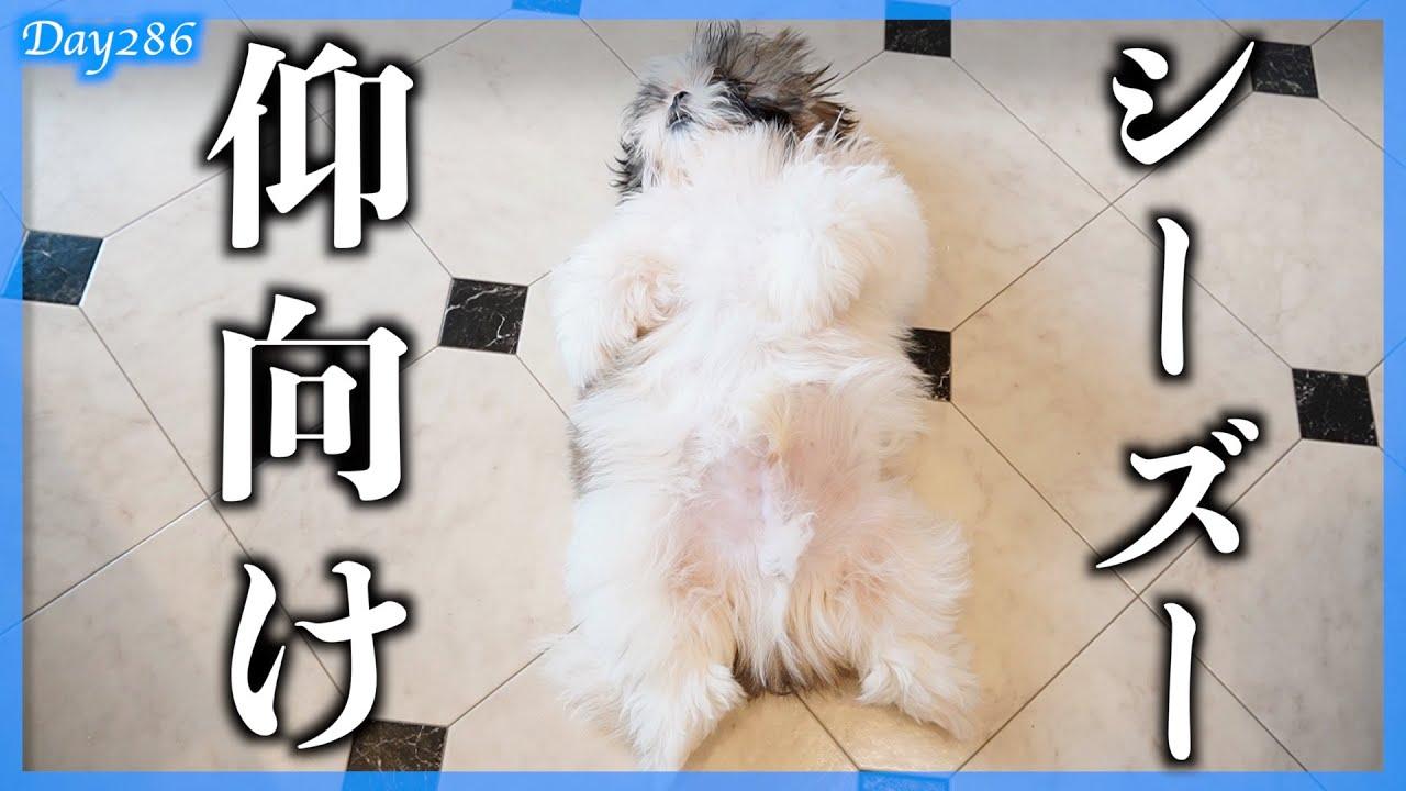 【子犬癒し動画】撫でるとヘソ天になっちゃう子犬♡ ぬいぐるみのような姿にキュンキュン♡【286日目】