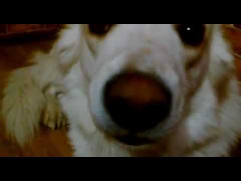 Самые красивые породы собак (Топ-30)