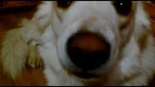 Самая смешная собака в мире!