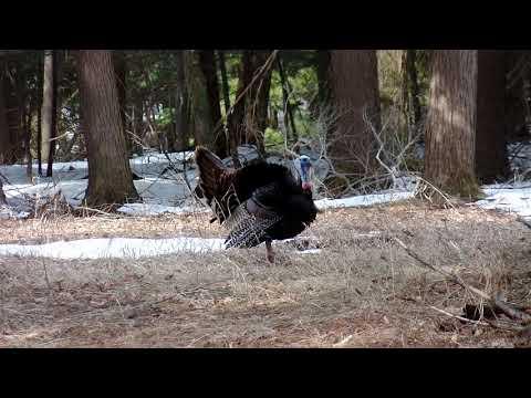 Turkey in Glen Arbor Mi. 4-24-18