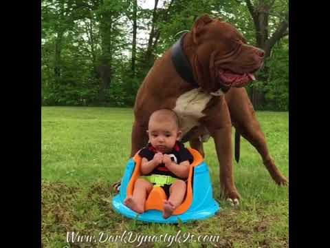 Some of GIANT family pit bull THE HULKS best moments