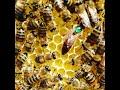 Ana arı kabul ettirme 535 925 0881
