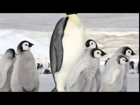 Antarctica's Emperor penguins waddling to extinction due to global warming : Climate study