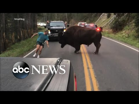 Man gets out of car to taunt bison at Yellowstone