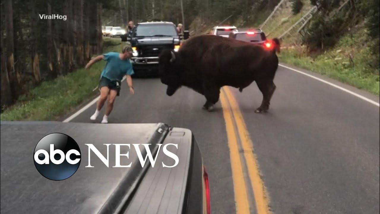 The reporter escaping a herd of bison in Yellowstone National Park ...