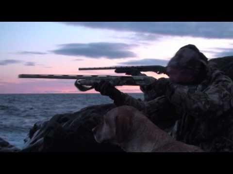 chasse canard eider