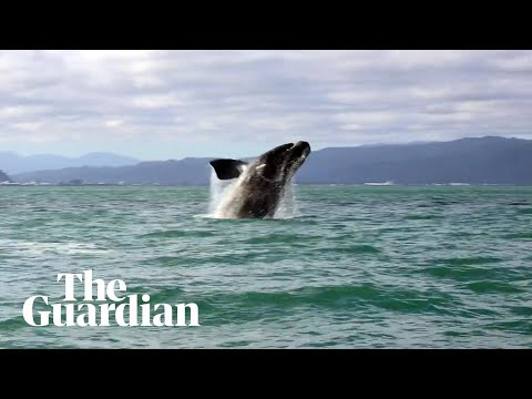 Whale Charms Locals In Wellington Harbour