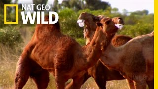 Camel Toothpaste | Animals Say the Wildest Things