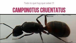 CAMPONOTUS CRUENTATUS  ( Todo lo que hay que saber)