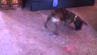 Spinning boxer puppy chasing laser