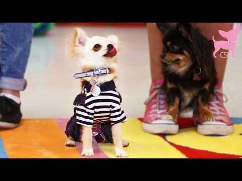 Cute Chihuahua Dogs Dancing Happily