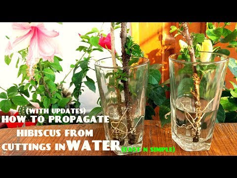 How To Propagate Hibiscus From Cuttings In Water(With Updates)