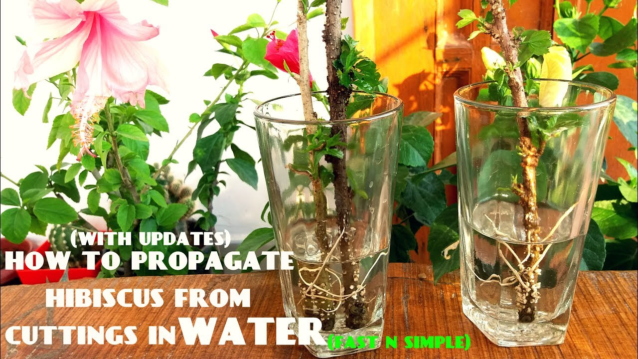 How To Propagate Hibiscus From Cuttings In Waterwith Updates Youtube