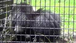 Skunk in TRAP, How to Release a Skunk from a Trap without being sprayed. Understanding Skunks