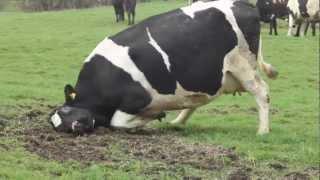 Танцующие коровы(, 2012-03-27T12:59:57.000Z)