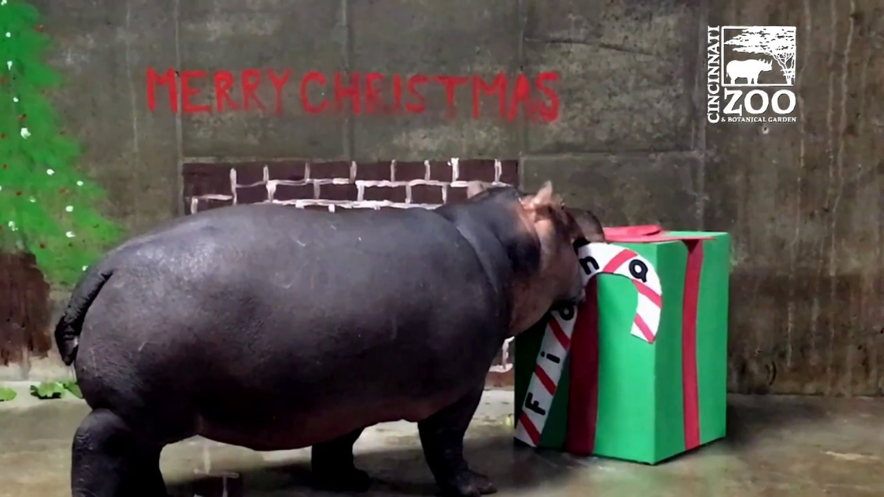 Fiona\'s First Christmas - Cincinnati Zoo - YouTube