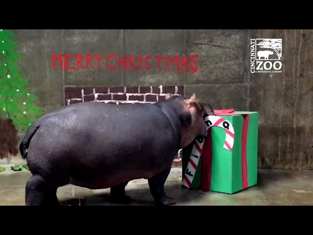 Fiona's First Christmas – Cincinnati Zoo