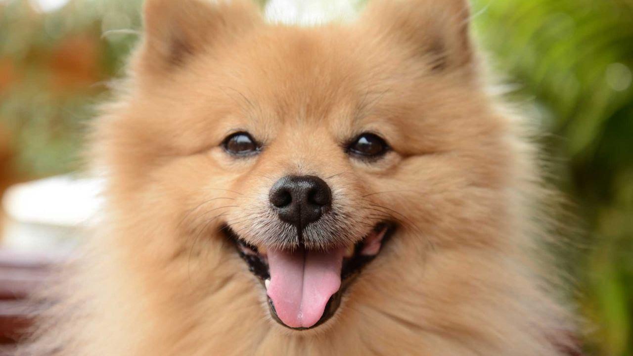 Pomerania spitz enano alem n raza de perro youtube for Cani pomerania