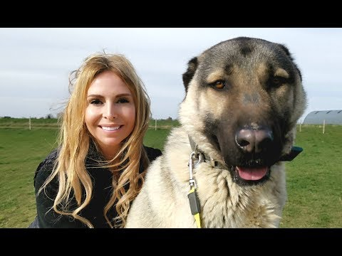 TURKISH KANGAL DOG  WOLF KILLER OR PET?