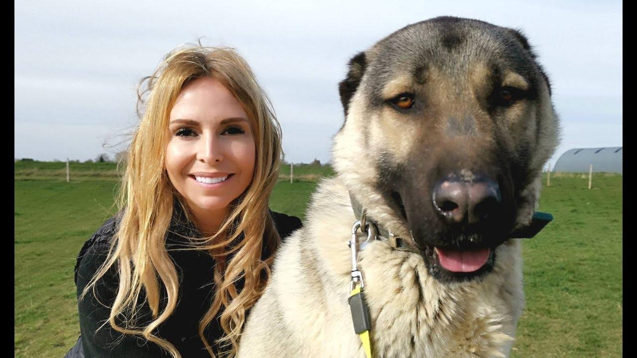 TURKISH KANGAL DOG - WOLF KILLER OR PET?