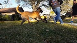 Best Dog Trainers In Houston, TX Sophie German Shepherd 5 5mo Board and Train Before and After
