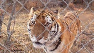 saying good morning to a tiger