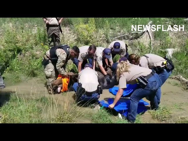 Rangers Fire Moose Unconscious With Tranq Dart