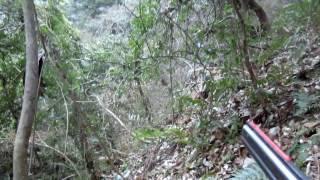 1月29日奥山ダムの上の林の中で、ががちゃんがイノシシ発見。レイ君と共...