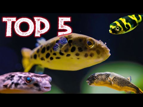 Top 5 Freshwater Puffer Fish For Your Aquarium