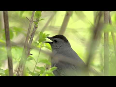 2016 Gray Catbird Calling in New Jersey