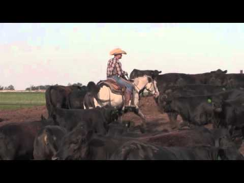Angus VNR: The perfect steer