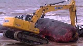 16-метровую тушу кашалота нашли в Монтевидео (новости)