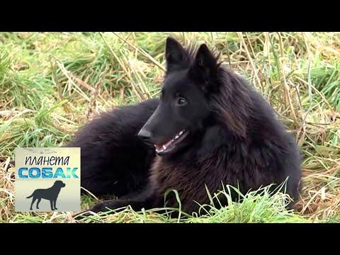 Бельгийская овчарка Грюнендаль. Планета собак 🌏 Моя Планета