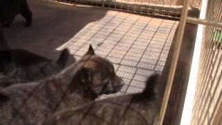 This is a video of Kai Ken (甲斐犬) Haru's third litter having thei...