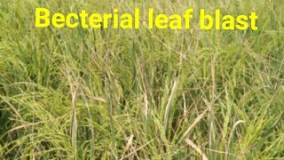Becterial leaf blast in paddy /blb in paddy/blast in paddy/blast in rice/dhan me julsa rog