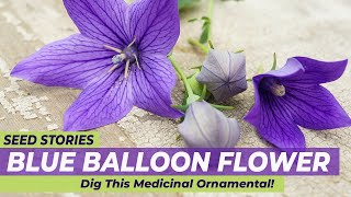 SEED STORIES | Blue Balloon Flower: Dig This Medicinal Ornamental!