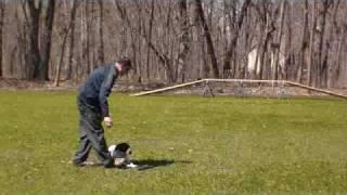 German Shorthair Pointer Heidi - Obedience Training Graduate