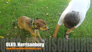 Fear Aggression To Enjoying Life! | Boxer/beagle Mix | Dog Training Harrisonburg
