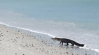 """""""This So Unusual,"""" Alligator Spotted Swimming In Gulf Of Mexico"""