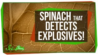 Spinach That Detects Explosives!