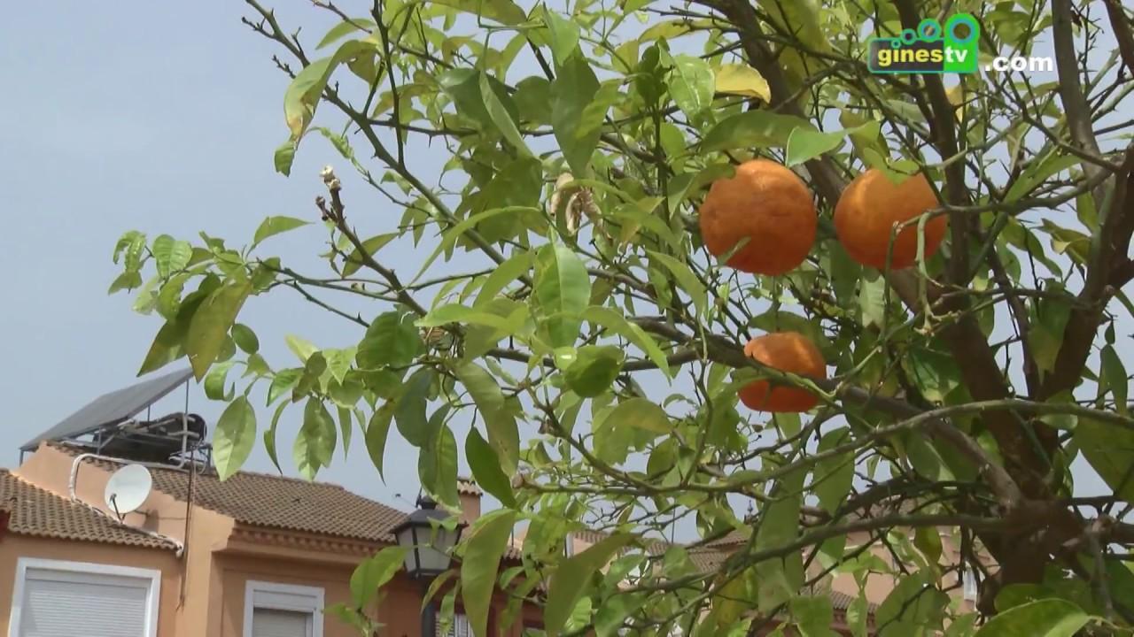 Campaña de reposición y mantenimiento de naranjos en diferentes zonas de Gines