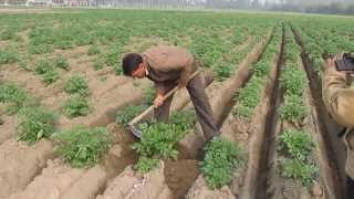 Potato 25 tons per Acre in making  2013 14  Pantnagar  university Trial with Abhiram Veer Field CH 3