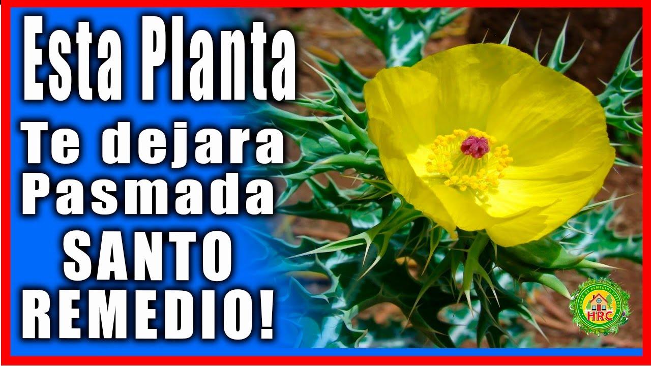 Pocas personas de 30 a 70 conocen los beneficios de esta planta! Cardo Santo un Sagrado Remedio