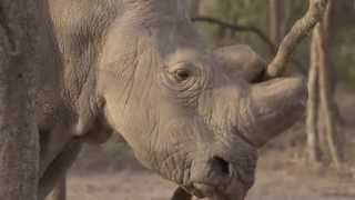 Visiting The Last Northern White Rhinos