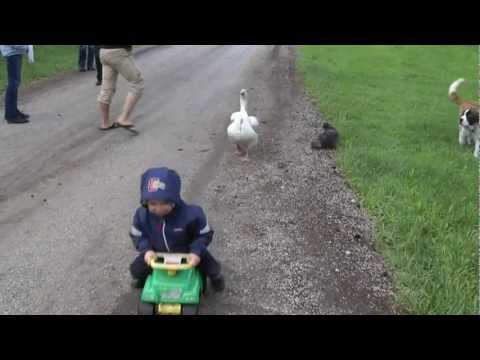 Angry Goose v 2 yr old child    and his dog and cat   HILARIOUS