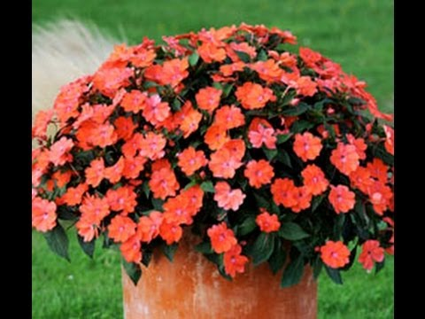 Sunpatiens chez jardin express youtube for Jardin express