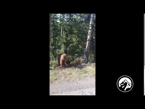 Yellowstone Black Bear | Rocky Mountain Expeditions | Jeep Car Rentals | Bozeman, MT