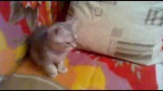 Продаётся шотландский котёнок, Новосибирск